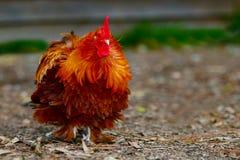 Chicken hen face closeup body nature stock image