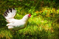 chicken hen face closeup body nature royalty free stock photography