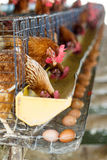 The chicken or Hen in farm with eggs Stock Photo