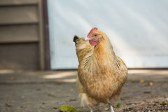 Chicken Hen On Farm In Illinois Royalty Free Stock Photography