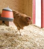 Chicken in a hen house Royalty Free Stock Photography