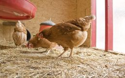 Chicken in a hen house Stock Photo