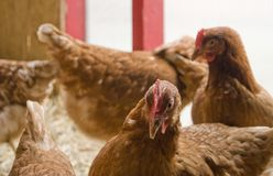 Chicken in a hen house Royalty Free Stock Image
