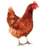 Chicken hen Stock Photo