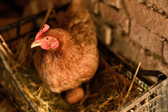 Chicken hen on nest Royalty Free Stock Photos