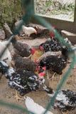 Chicken hen Royalty Free Stock Photo