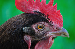 Chicken - Hen. Hen walking morning in the morning Royalty Free Stock Images