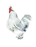 Chicken hen watercolor painting isolated on white background Stock Image