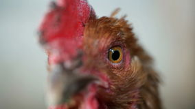 Chicken in the henhouse close up