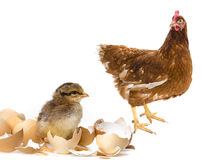 chicken and her mother hen Stock Photo