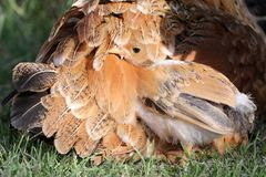 Chicken Hiding Royalty Free Stock Photos