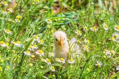 Chicken hiding in the camomiles Royalty Free Stock Image