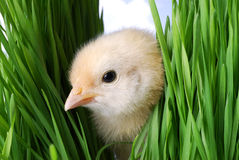 Chicken Hiding In The Grass Stock Photo