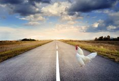 Chicken On A Highway Road stock photography