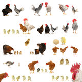 Chicken histories Royalty Free Stock Photography