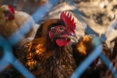 Chicken in holding pen Royalty Free Stock Image