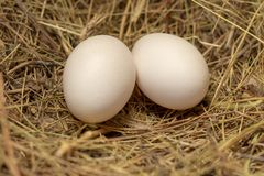 Chicken homemade eggs are in a nest of hay in a chicken royalty free stock photography