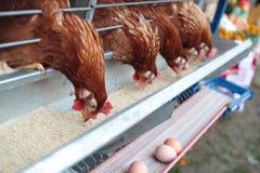 Chicken husbandry for eggs stock image