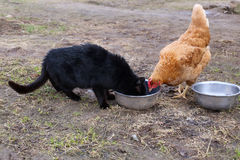 Free Chicken In Nature With Cat Royalty Free Stock Photo - 39626055