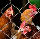 Chicken inmates. Chickens (or hens) behind a wire fence (inside a cage Stock Photography
