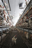 Chicken inside organic egg farm Royalty Free Stock Photography