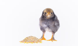 Chicken isolated. Royalty Free Stock Image