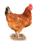 Chicken - Isolated Royalty Free Stock Image