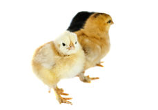 Chicken isolated Stock Images
