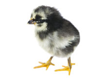 Chicken isolated Stock Photography