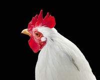 Chicken isolated on black Stock Photos