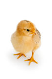 Chicken Isolated On White Stock Photography