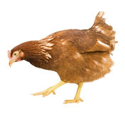 Chicken  isolated on a white background Royalty Free Stock Photography