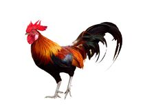 Chicken isolated Stock Image