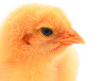 Chicken. Isolated on white background Stock Photos