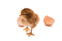 A chicken isolated Stock Photography