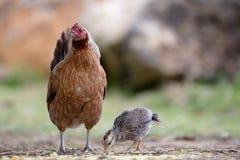 Chicken on Kauai Stock Image