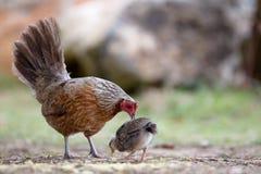 Chicken on Kauai Stock Images
