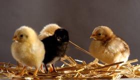 Chicken kindergarten. A few days old chicken Stock Images