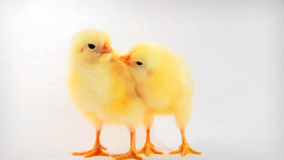 Chicken kiss. Two chickens on white background, one pecks other like kissing. HD 720p stock footage