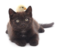 Chicken on kitten. Royalty Free Stock Images
