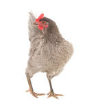 Chicken laying hen in a graceful pose. Isolated. Royalty Free Stock Photography