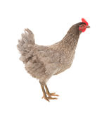 Chicken laying hen in a graceful pose. Isolated. Stock Photography