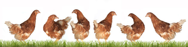 Chicken-laying hens Stock Image