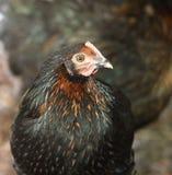 Chicken Leaving Chicken Coop Stock Photo