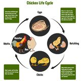 Chicken Life Cycle Diagram. With all stages including eggs hatching chicks and adult rooster hen simple useful chart for biology science education Royalty Free Stock Images