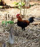 Chicken life forage in nature. Chicken life in nature forage for species Royalty Free Stock Photography