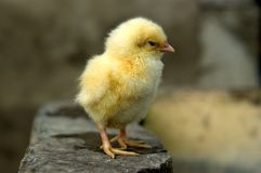 Chicken Little Stock Photography