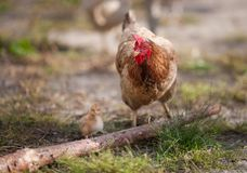 Chicken. With  little  animal Royalty Free Stock Image