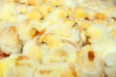 Chicken little Royalty Free Stock Image