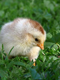 Chicken Little is in the  grass Stock Photo